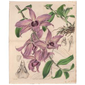 Curtis Botanical Mag Hooker antique 1843 h/c engraving double 3970 Dendrobium