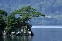 Japanese Red Pine Tree Seeds (Pinus densiflora), 10 seeds