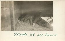 Real Photo Mother Pig and her piglets feeding   Postcard