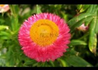 US-Virgo Straw Seeds Wax Garden Potted Ornamental Flowers 20Pcs