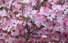 """Pink Dogwood tree 8-12"""" tall 2 1/2"""" pot"""