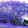 50pcs Jacaranda Tree Amazing Ornamental Mimosifolia Plant Blue Decor-DIY Se J9O4