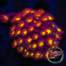 New listing Candy Apple Goni - Wysiwyg Live Coral Frag- Top Tier Aquatics