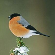 Bullfinch Sound Card - plays bird sound when opened!