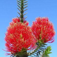 REGELIA velutina Gondwana Christmas tree Seeds (N 158)