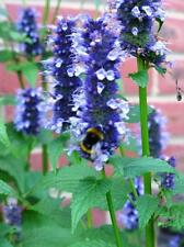 Agastache 'Black Adder' - Ornamental Hyssop Perennial Plant in 9cm Pot