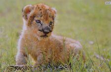 León Baby-a3 póster (aprox. 42 x 28 CM) - león baby animal cartel nuevo