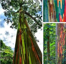 30+ Seeds RAINBOW TREE Eucalyptus Deglupta Mindanao Gum Rare Garden Bonsai Seed!