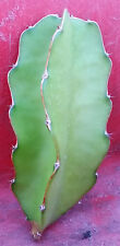 Dragon Fruit Unrooted Cutting (hylocereus undatus) approx. 6""