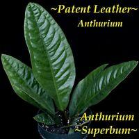 "~SUPERBUM~ Anthurium SPECTACULAR Patent Leather Leaves Live 12-24"" Potted PLANT"