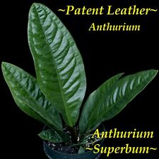 ~SUPERBUM~ XL Flowering size Anthurium SPECTACULAR Leather Leaves Potted PLANT