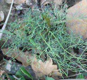 Seseli osseum -  Rare Hardy Umbel Plant in 9cm Pot