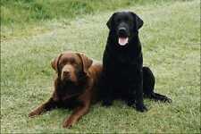 771032 Chocolate Black Labrador Retrievers A4 Photo Print