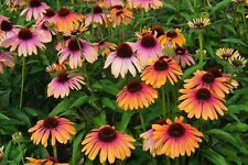 Echinacea Purpurea Seeds - RAINBOW MARCELLA - Perennial Coneflower - 15 Seeds