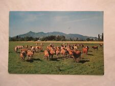 Dairy heard Jersey  cows New Zealand Continental Postcard