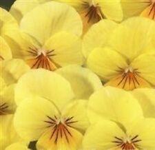 Viola-Floral Potencia albaricoque Labios - 10 Semillas