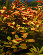 Bunched Ludwigia Repens Live Aquarium Plants anacharis java moss moneywort