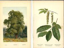 Stampa antica CARPINO BIANCO ALBERO foglie fiori botanica 1890 Antique print