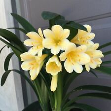 Joe Solomon Yellow Hybrid Clivia 7yr Several Plants In One Heavy Winter Bloomer