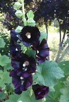 HOLLYHOCK NIGRA✿50 SEEDS✿Up to 7 Ft Tall✿Large Flowers Deep Red nearly Black