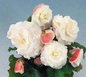 15 Nonstop Tuberous White Begonia Seeds Pelleted