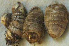 3 Taro Root Bulbs Elephant Ear Edible Aquatic Marginal Bog Pond Live Plant Fresh
