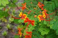 ** der Pfauenstrauch prächtige, zarte Blüten in gelb-orange  Zierpflanze Samen.