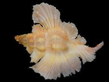 Seashell,Murex,Pterynotus Loebbecki
