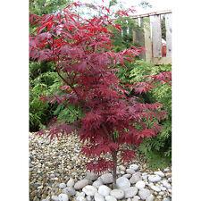 Acer Maple Shrubs Hedges Bushshrub Ebay