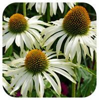 Mentha Strawberry Mint  Almira® Perennial Plug Plants Pack x6
