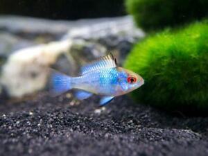 "3 Electric Blue Ramirezi (1.25""-1.5"") Live Fish 2Day Fedex shipping"