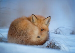 Fox laying curled up on snowy ground A4 glossy photograph