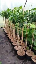 Korkenzieher Haselnuss auf Stamm - Corylus avellana 'Contorta'