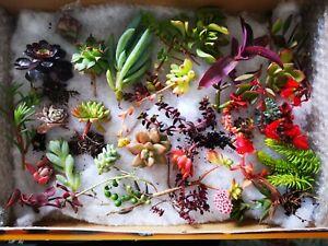 SUCCULENTS 👍30 x Succulent Cuttings, Freshly Cut - No Repeat, Free Post in BOX