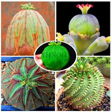 Euphorbia Obesa Sea Urchin Bonsai Succulent Plants 100 PCS Seeds Free Shipping N