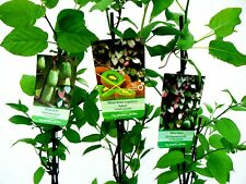 Kiwipflanze im Container 60-80 cm hoch Actinidia chinensis Solo 3 Stück