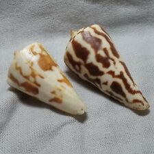 Two Conus recurvus - unusual color