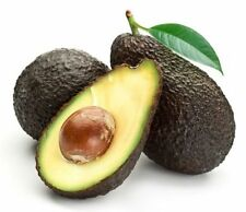 Hass Avocado - Grafted Tree - 2 to 3  Feet Tall