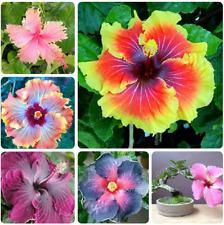 Giant Hibiscus Bonsai 24 Kinds Rosa Flowers Mix Color Tree Plants 200 Pcs Seeds