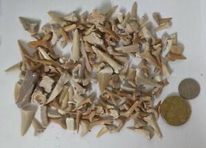Quantity of SHARK TEETH & Other Fossils From the Moroccan Phosphate mines (U5)
