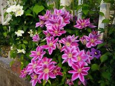 Clematis Dr Ruppel pink striped flowers repeat flowering plant 1 litre pot
