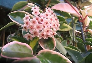 Rare House Plant Pink HOYA carnosa KRIMSON QUEEN WAX plant Variegated Scented