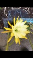 """Orchid Cactus Epiphyllum""""FRENCH GOLD"""" 3 cuttings at 3"""" to 6"""" Huge Flowers"""