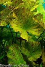 Nymphaea Zenkeri Tiger Lotus Bulb Green Aquarium