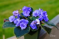 African Violet 'Double Blue Boy' - Blooming Plant!