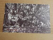Postcard  Tigers In The Shade Wesleyan mission Card Mysore City unposted