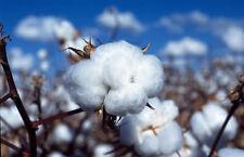 50 WHITE COTTON Gossypium Seeds USA Seller Shipper Best Price