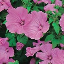 Lavatera - Silver Cup - 100 Seeds