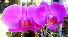 Phalaenopsis Phal. Evolution Orchid Plant in Bloom