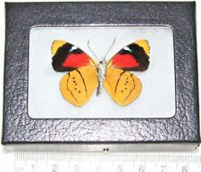 Real Framed Butterfly Gold Perisama Humboltii Verso Peru